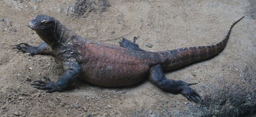 Not only is the Komodo the largest lizard in the world, but it's also the largest venomous creature currently living on land.