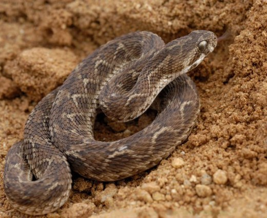 As well as having a lethal amount of venom and long fangs. The saw scaled viper is the most aggressive snake in the world and thus the most dangerous to humans.