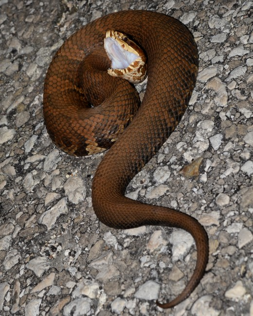 Notice the whiteness in the mouth. This is why they are called cottonmouths.  Photo by Geoff Gallice.