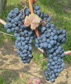 Kekfrankos Grapes used in Egri Bikaver Wine