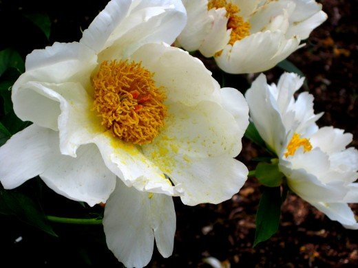 "White Peonies in the ""Sunken Garden"""