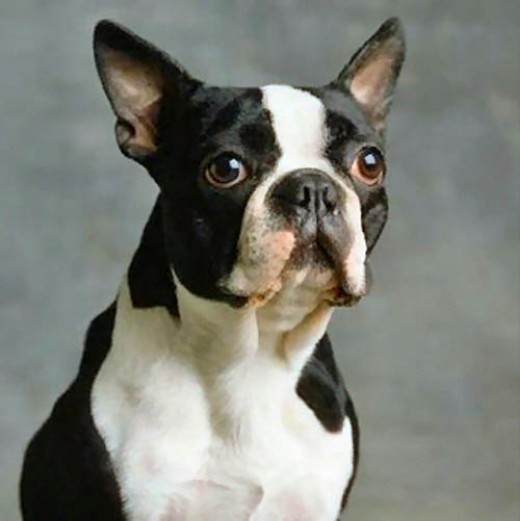 Boston Terrier one breed of dogs prone to skin disorders