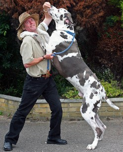 Top 10 Strongest Dogs Great Dane
