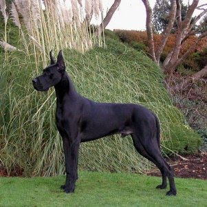 Large dogs suffer from a higher incidence of bone cancer.