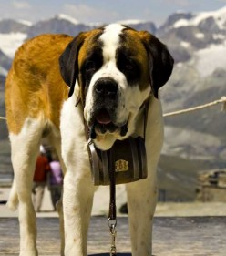 Top 10 Strongest Dog Breeds St Bernard