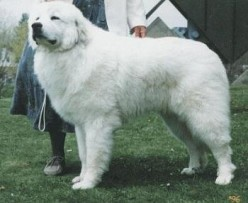 Great Pyrenees Top Strongest Dogs