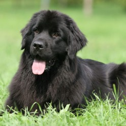 Newfoundland Top 10 Strongest Dogs