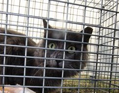 A Feral Cat ready to returned after being trapped and neutered.