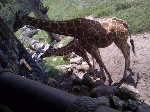 Giraffes At The National Game Reserve