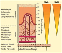 UV radiation affects cell differentiation