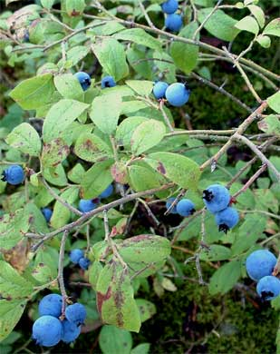 """Wild blueberries growing without any """"help"""" from man."""