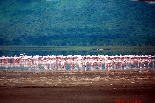 Pink Flamigos At Lake Nakuru