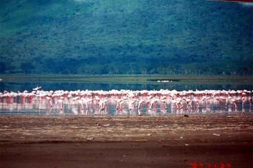 Pink Flamigos At Lake Nakuru