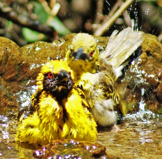 Spotted-backed Weavers, sharing a bath