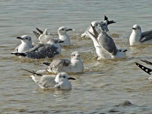 Gulls in Biloxi