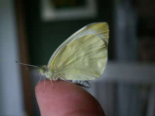 Newly emerged Cabbage Moth Butterfly
