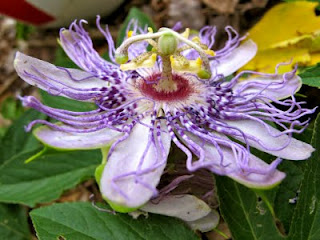 Passion flower vine, host to the Gulf Fritillary