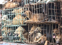 Dog Meat Trade and Transport in Asia: Illegal and Inhumane