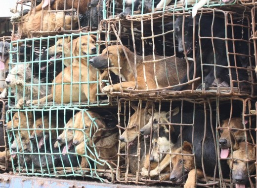 Dogs loaded into crates.