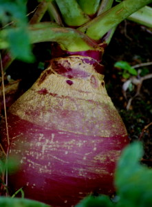 Rutabaga in garden