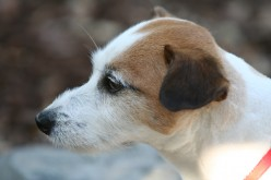 How to Choose the Dog Breed for You- About the Jack Russell Terrier