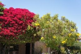 Bougainvillea, Old Town