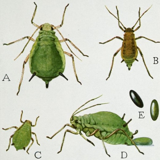 Life Cycle of a Green Apple Aphid