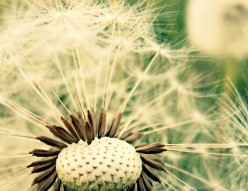 The Dandelion of May - Poetry and Photography