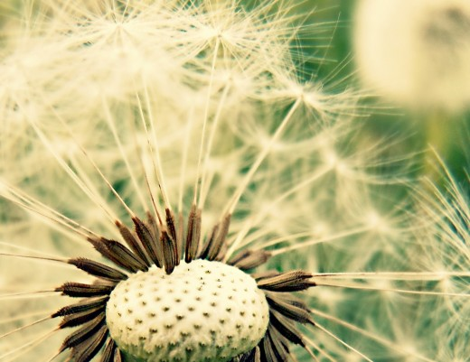 "A dead dandelion's crown of glory known as ""dandelion clock"" carries and lifts up its fruits in spreading new life."