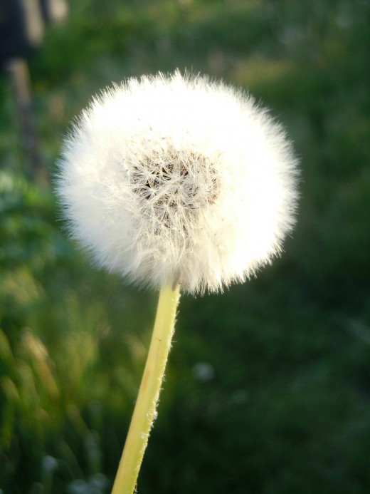 Snow white soft and must be touched gently,  for dead dandelions are fragile and feathery.