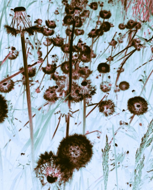 When dandelions die, their spirits are free; to float in the air, they wander far as can be.