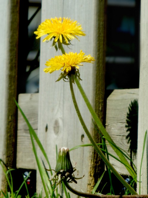 A matured pair of dandelions, male and female perhaps? And what's the little one, a baby in its wraps?