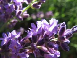 Lavender—audreyjm529 (Flickr.com)
