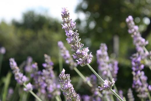 Lavender—Dark Dwarf (Flickr.com)
