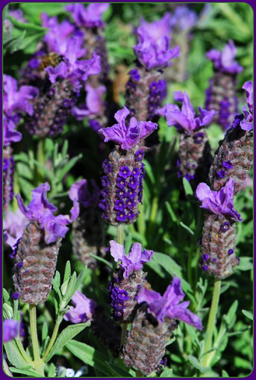 Spanish lavender, DSC 0361—tracie7779 (Flickr.com)
