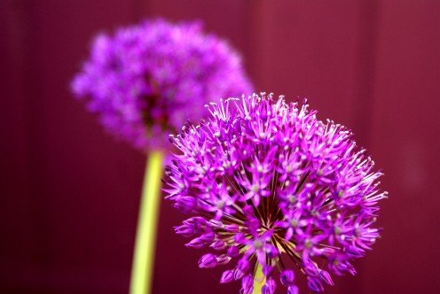 I just love the colour of the Aliums against the Aubergine painted shed doors