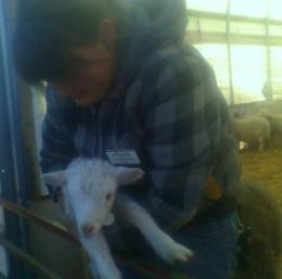 A Spring Lamb in April