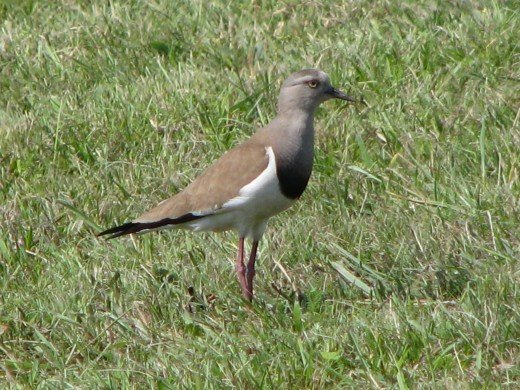 Black-winged Lapwing