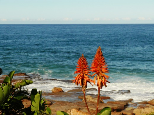 Indian Ocean - Eastern Cape. Aloes in fore ground provide food in wnter for Sunbirds