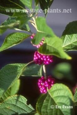 Deer-Proof Landscape Plants for the Southeast