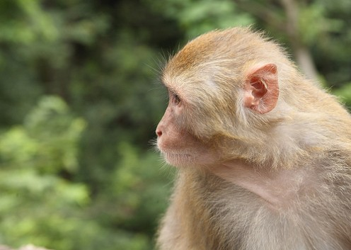 A rhesus monkey contemplates Common Knowledge.