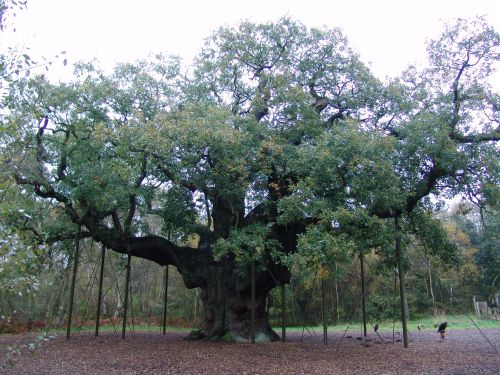 The famous Major Oak- a mighty tree that may have sheltered Robin Hood and his Merry Men. It could be up to 2000 years old. Today, the enormous boughs are propped up by crutches.