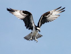 Birds of Prey:  The Osprey