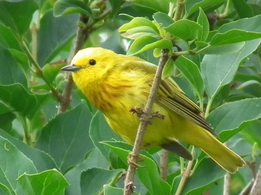 A Yellow Warbler in the hedgerow