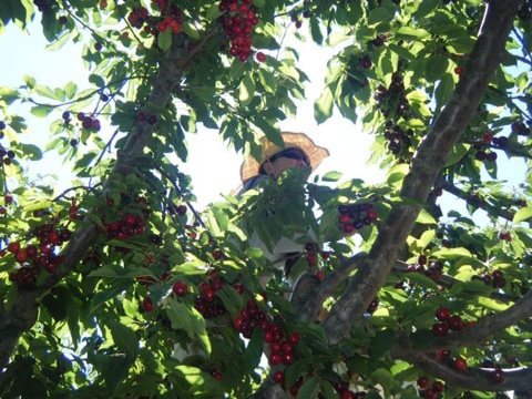 Can you find me in the cherry tree?