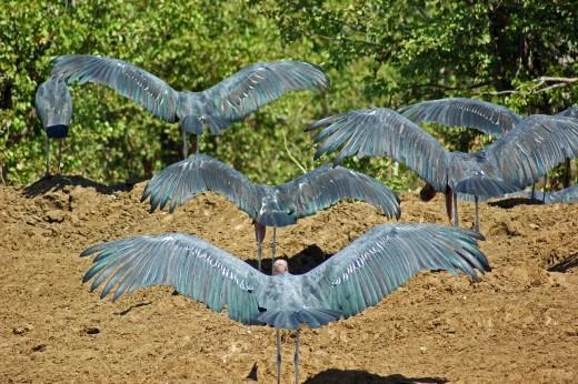 Marabou Storks - Kruger Park