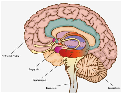 Picture showing the location of Hippocampus inside the brain's limbic system.