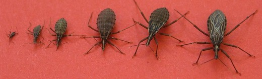 The Disease is spread by the blood sucking kissing bugs which also occur in Texas and other parts of the American south.