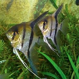 Pterophyllum scalare ( freshwater angelfish )