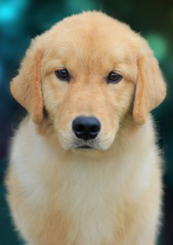 How to Choose the Dog Breed for You- About the Golden Retriever